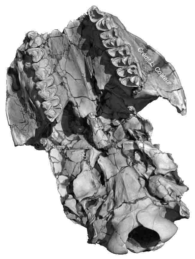Crâne de Moschidae - Miocène d'Allemagne